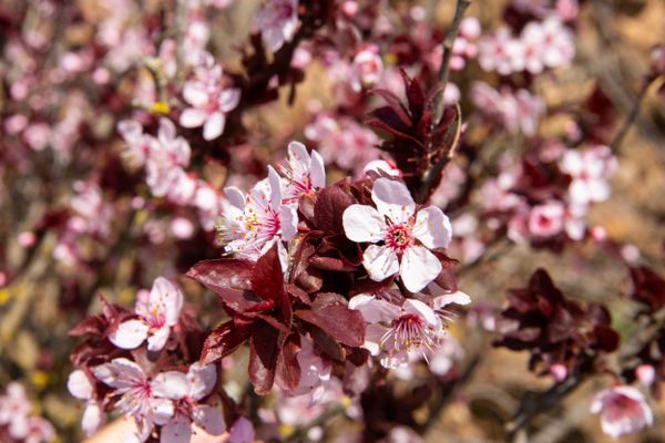 sand cherry tree blossoms