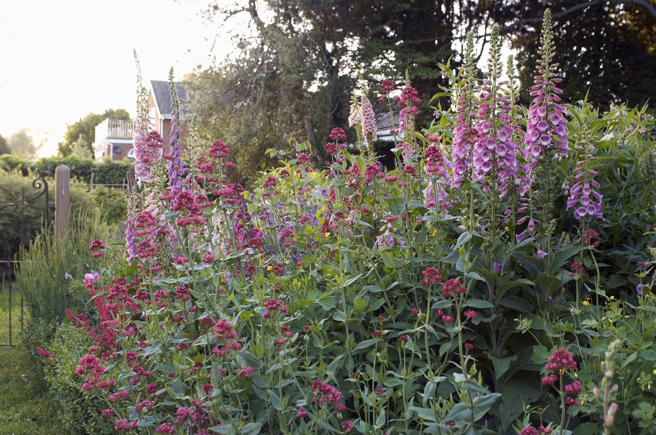 Fox gloves in the back of a flower border