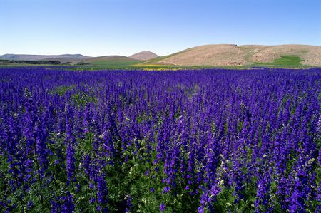 Common types of salvia flowers annual and perennial salvia farinaceae with blue flowers massed in a field mightylinksfo