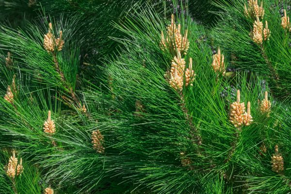 Monterey pine tree branches with long bright green needles with tan pinecones
