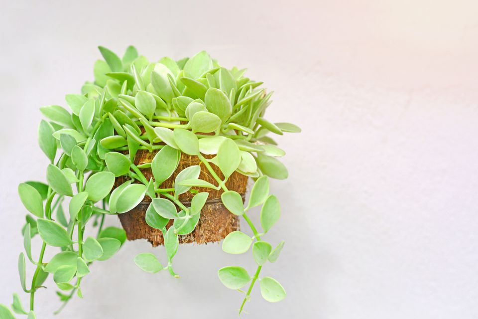 Dischidia nummularia (string of nickels) in a wall-mounted planter against a white wall.