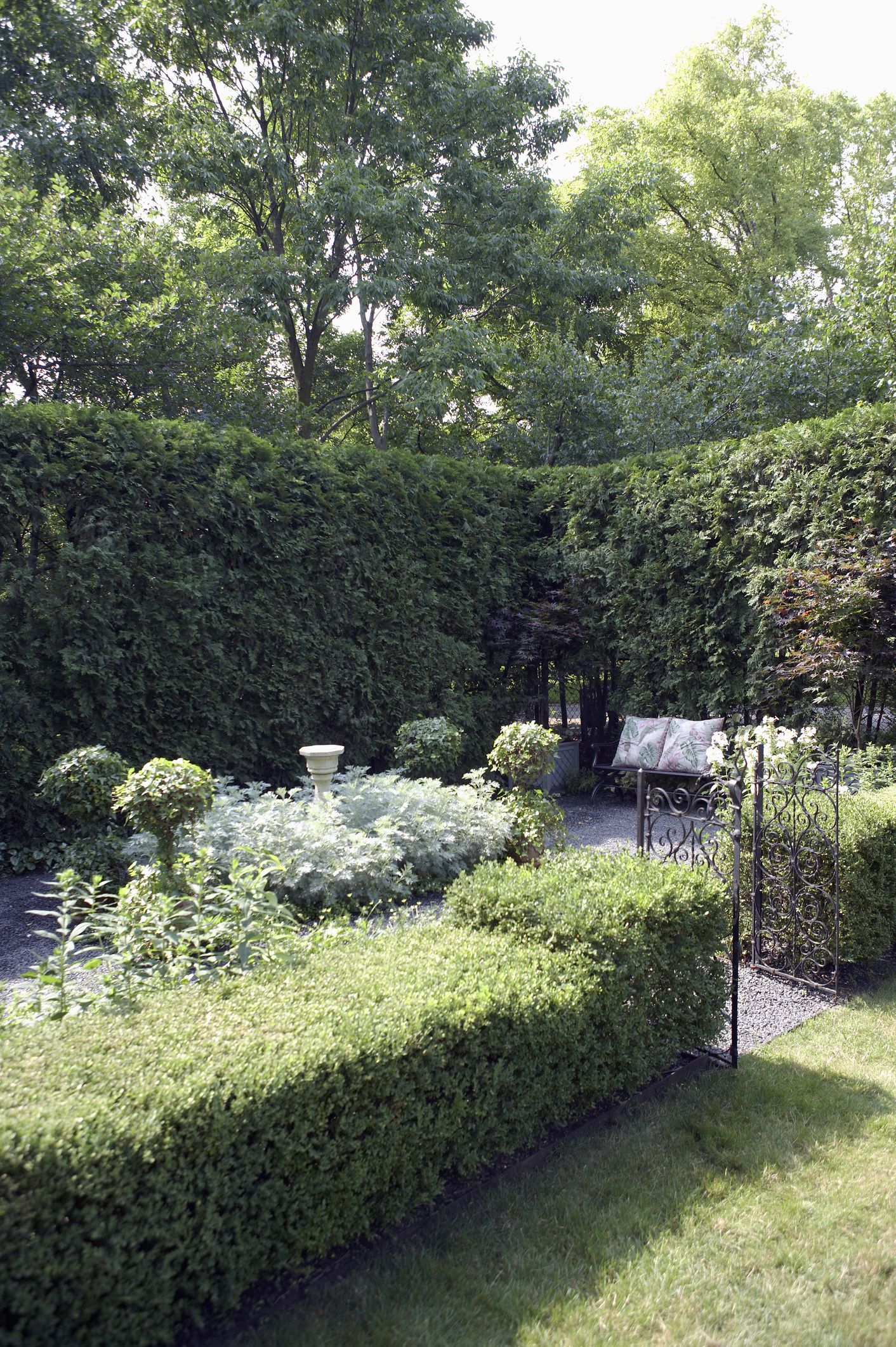 Arborvitae growth rate and drought tolerance