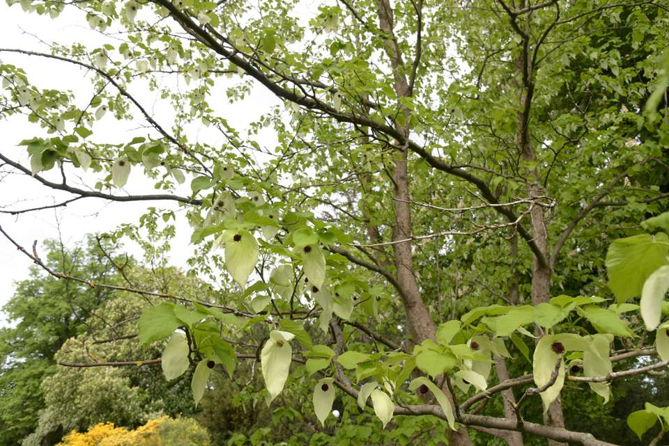Dove tree with green cordate leaves and white bracts hanging from bare extending branches