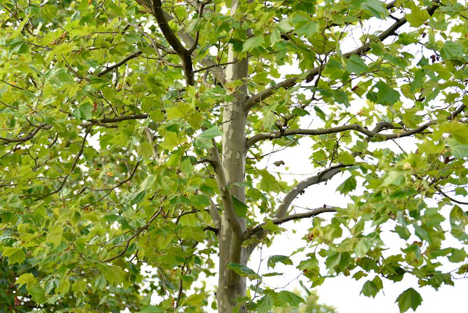 Sycamore tree trunk with light colored peeling bark with large green leaves hanging on branches