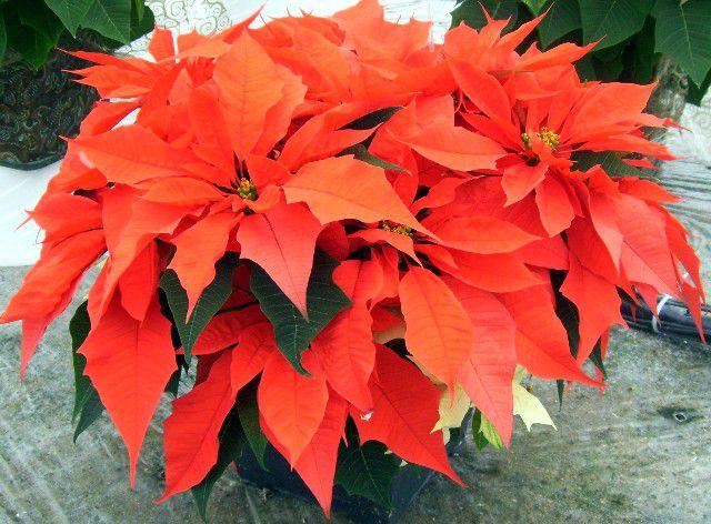 poinsettia de especias de naranja de rancho paul ecke  , cuadros de flor de pascua de jester