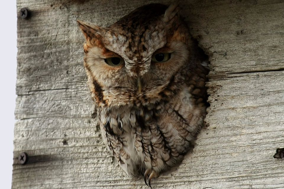 Backyard Owl