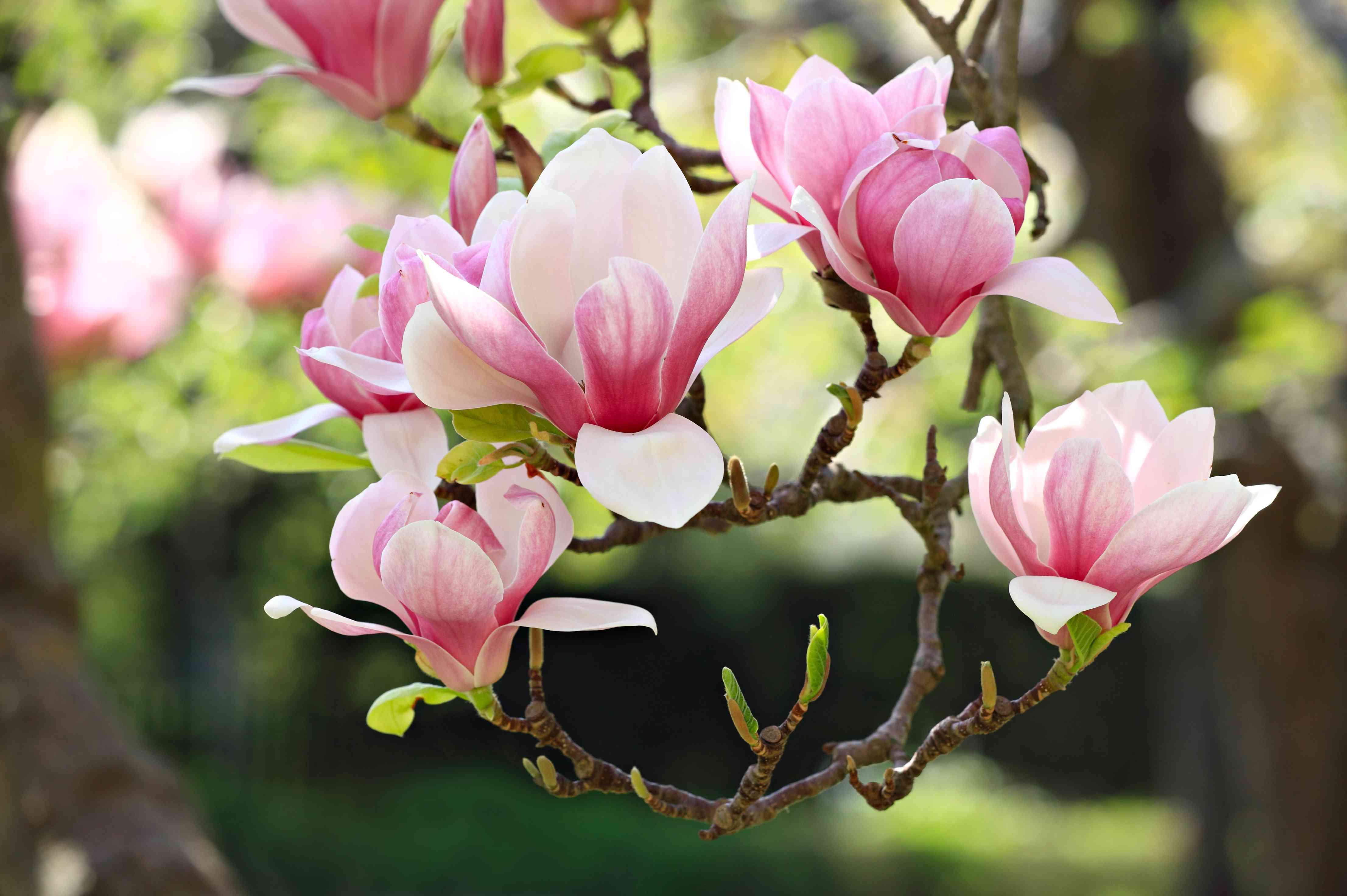 Magnolia Crown