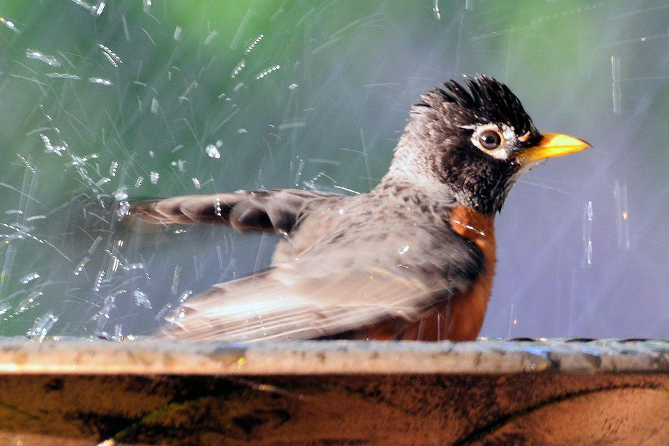 American Robin in a Bird Bath