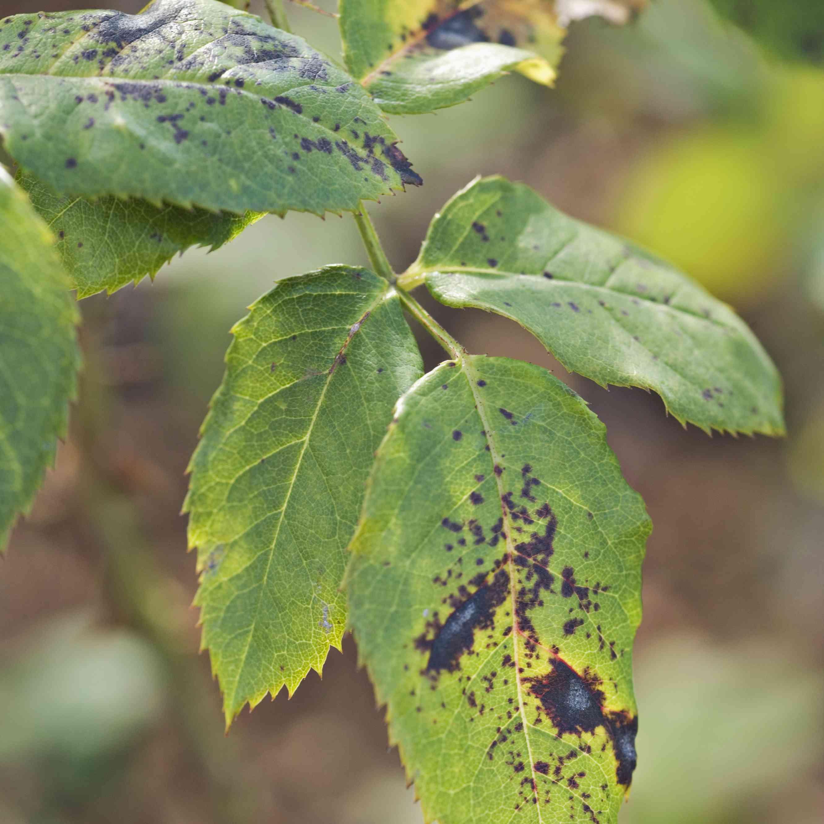 Black spot on rose leaves
