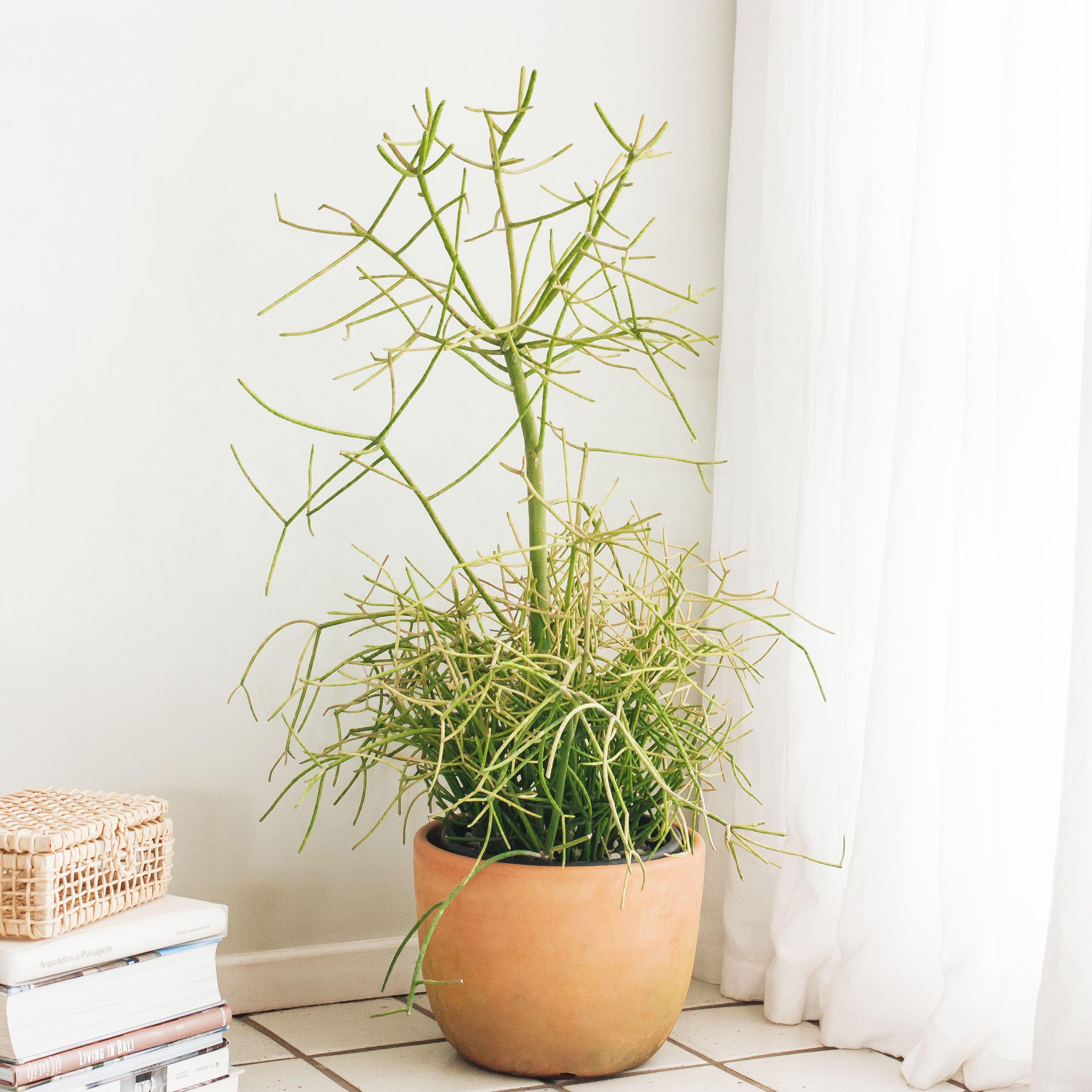 Pencil Cactus Plant Care Growing Guide