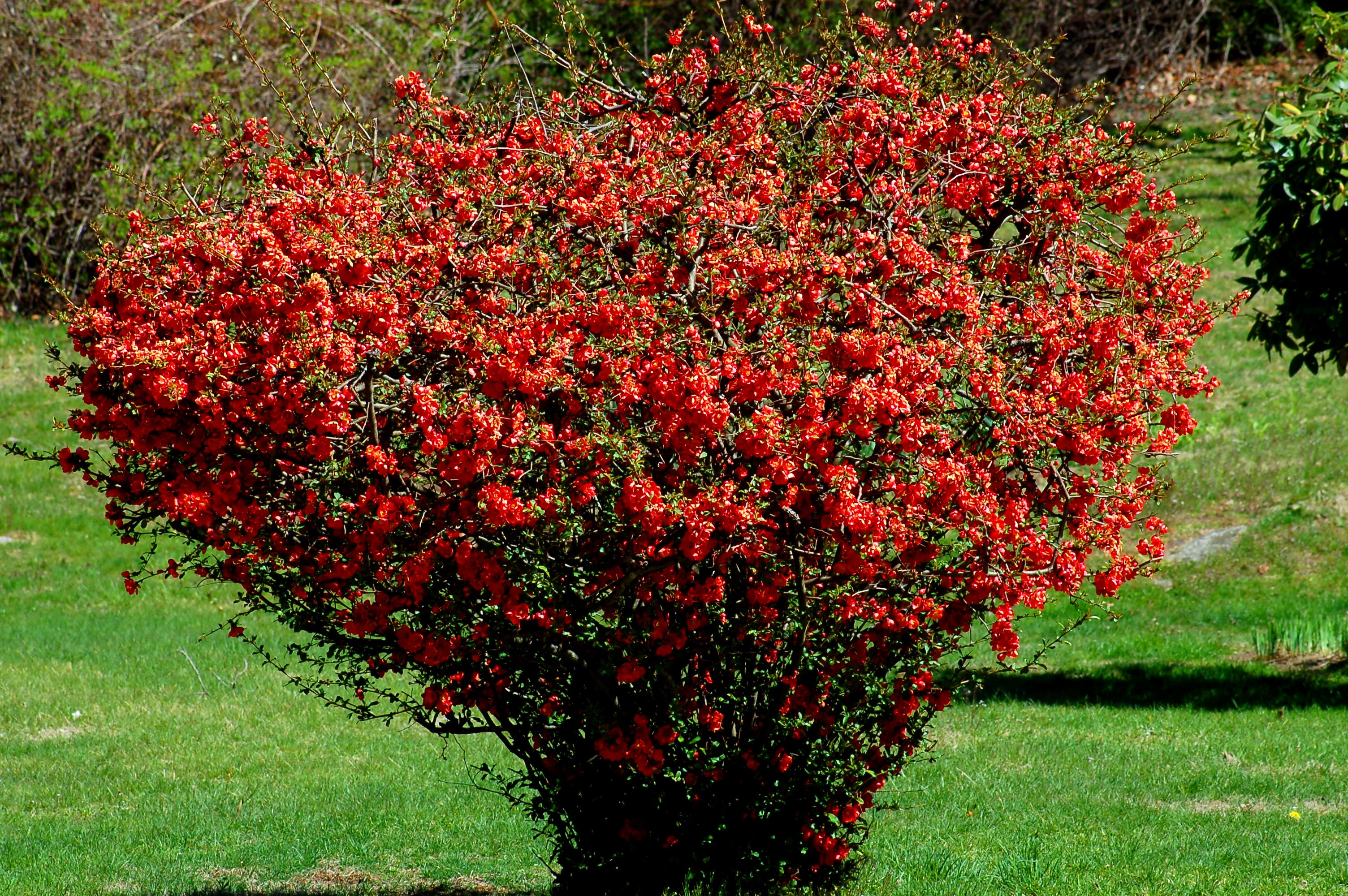 The 11 best flowering shrubs for early spring old flowering quince shrub that has been pruned a lot beautiful early spring bloomer mightylinksfo