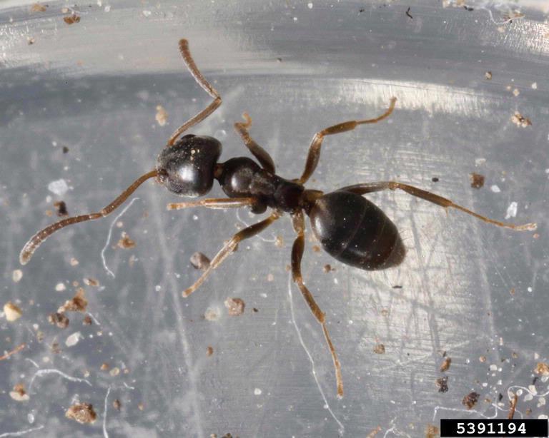 Odorous House Ant