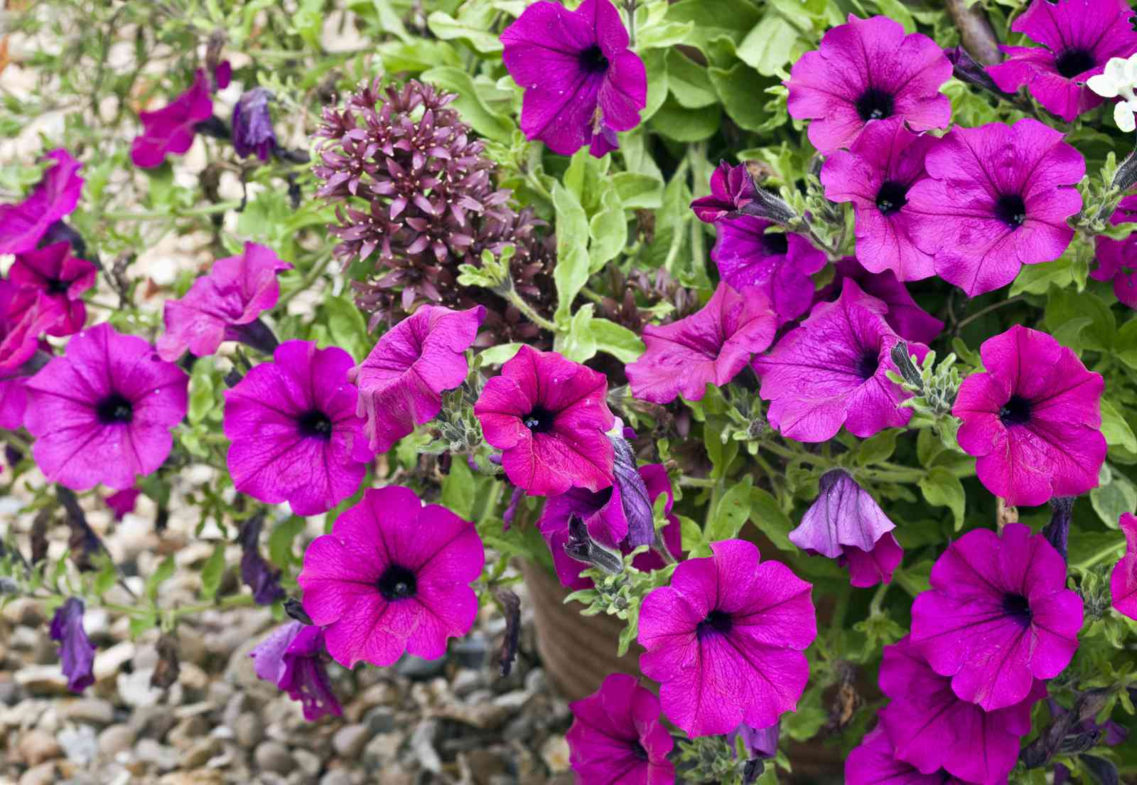 Purple Wave Petunia