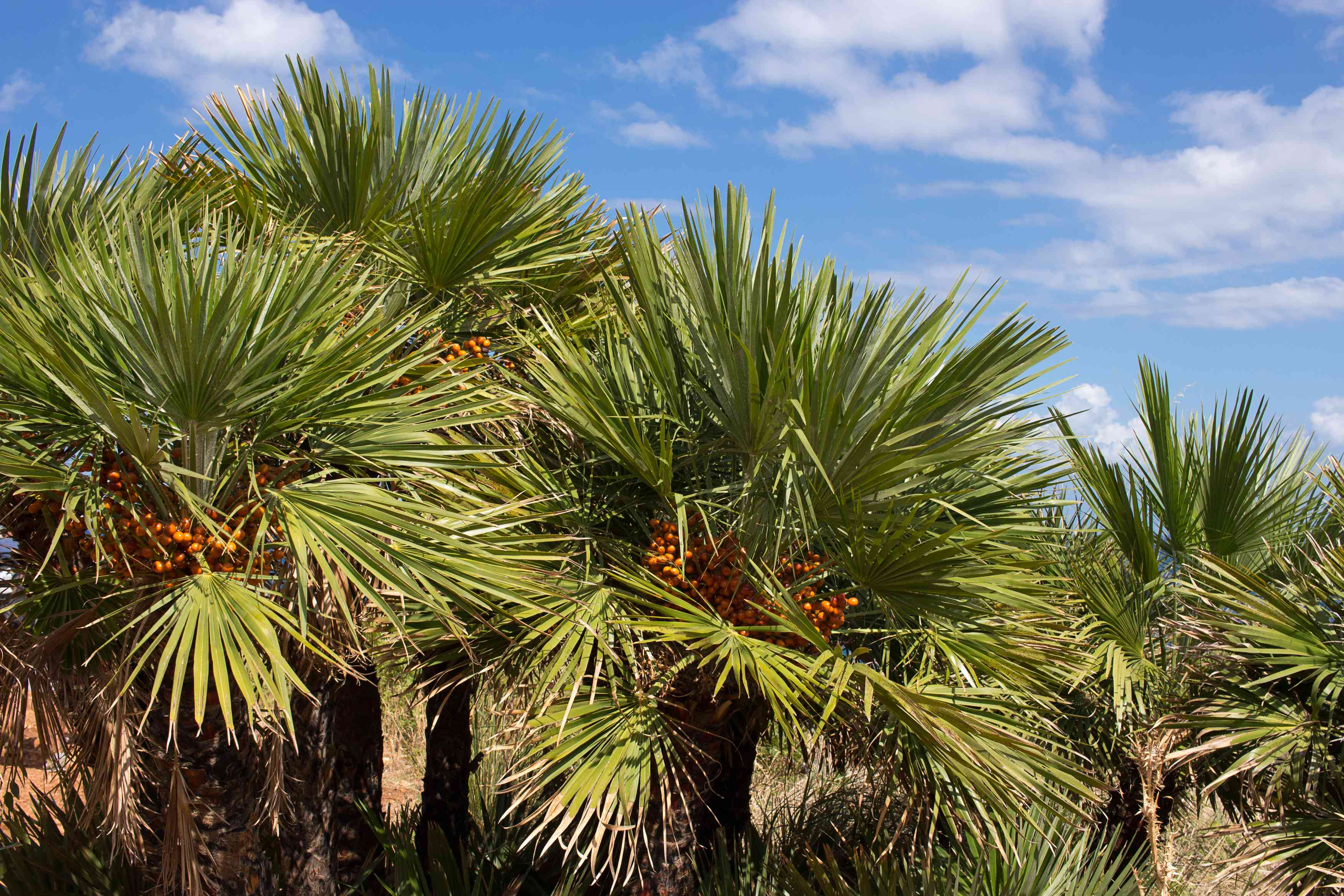 Group of European fan palm trees with green fronds