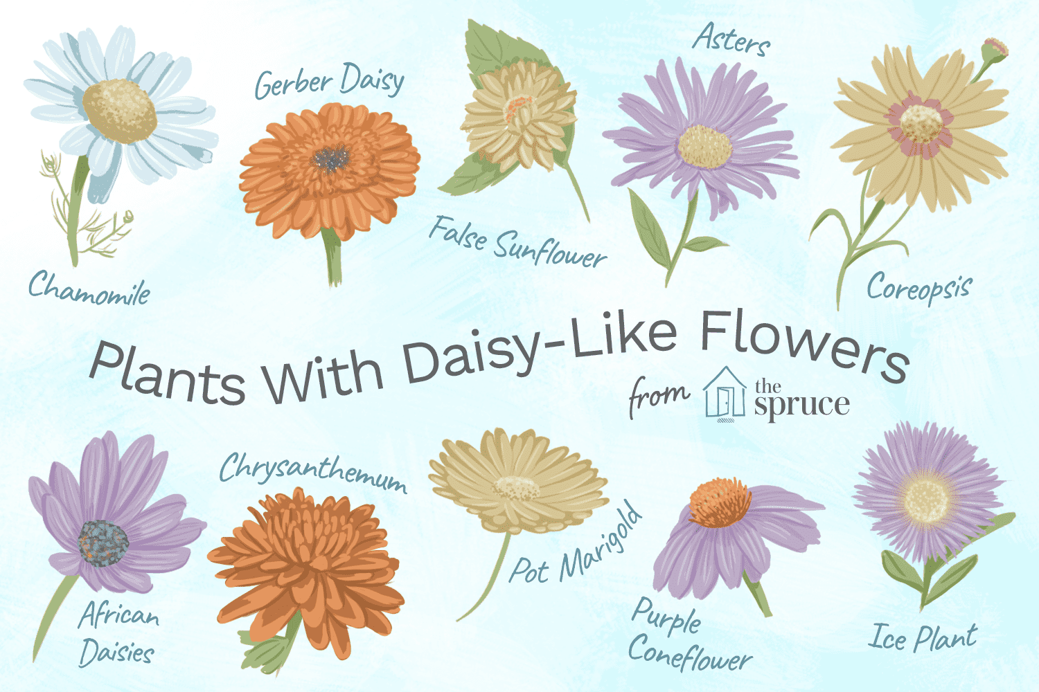 Illustrations of plants with daisy like flowers