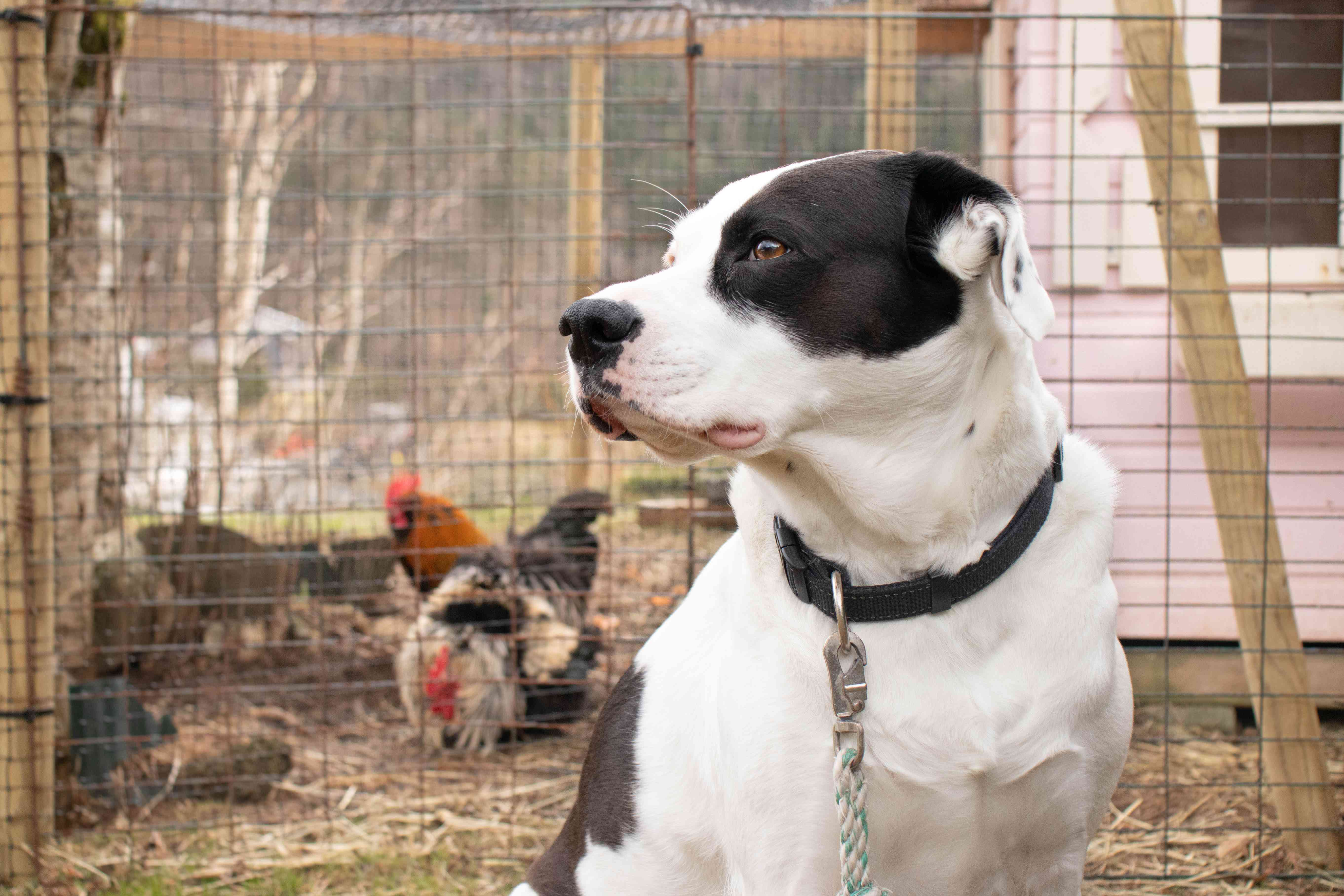 Black and white dog sitting in front of chicken coop for protection