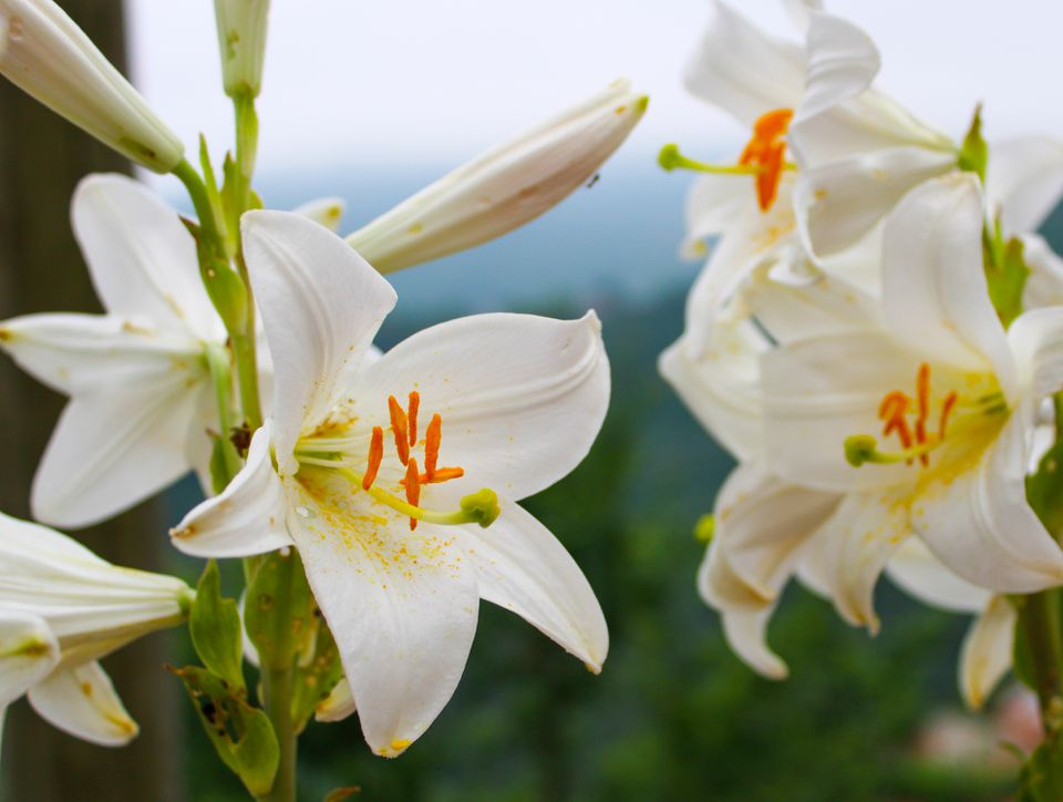 Madonna lilies (lilium candidum) bloom in Turkey