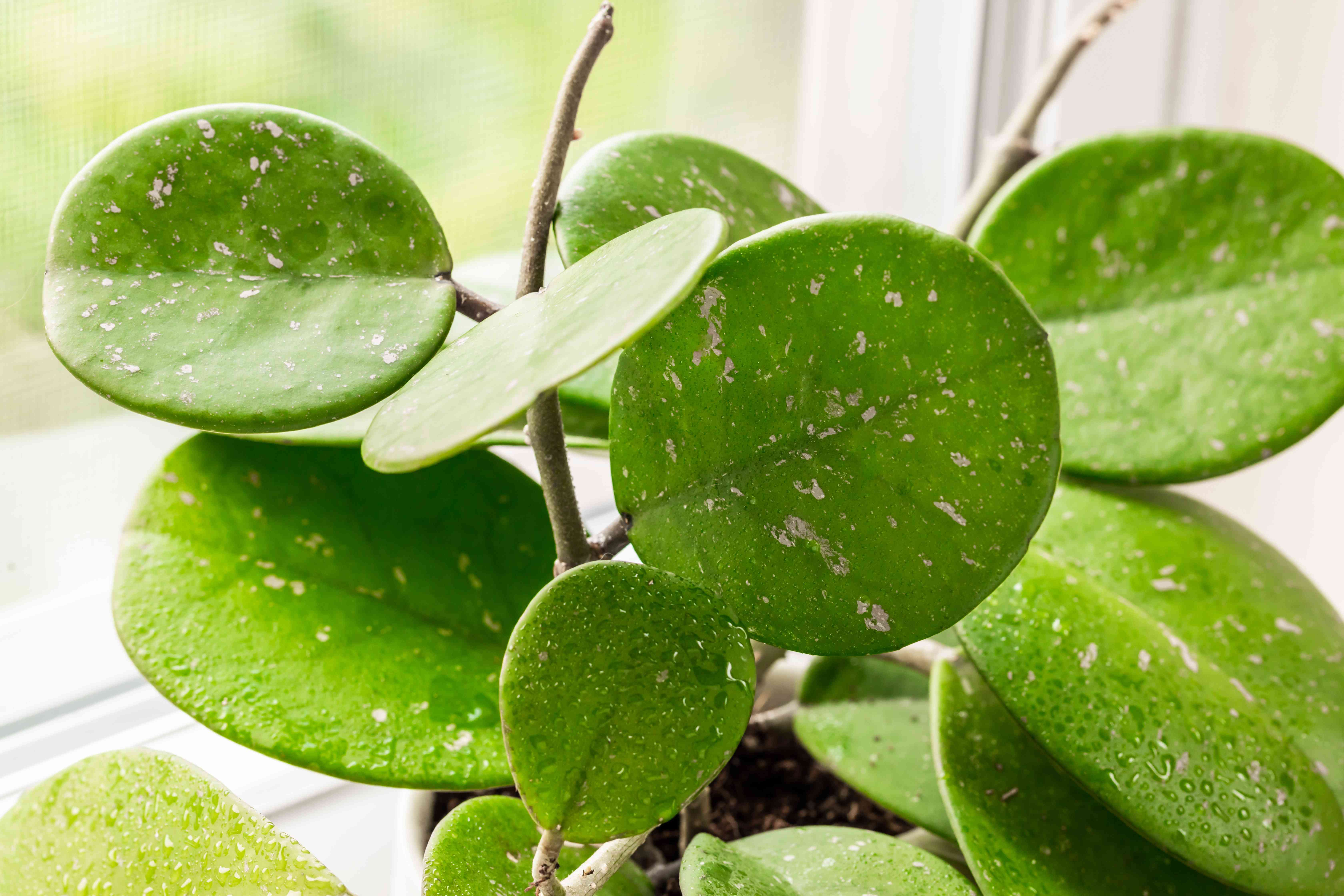 Hoya obovatta semi-suclent plant with large oval leaves and tendrils next to window closeup