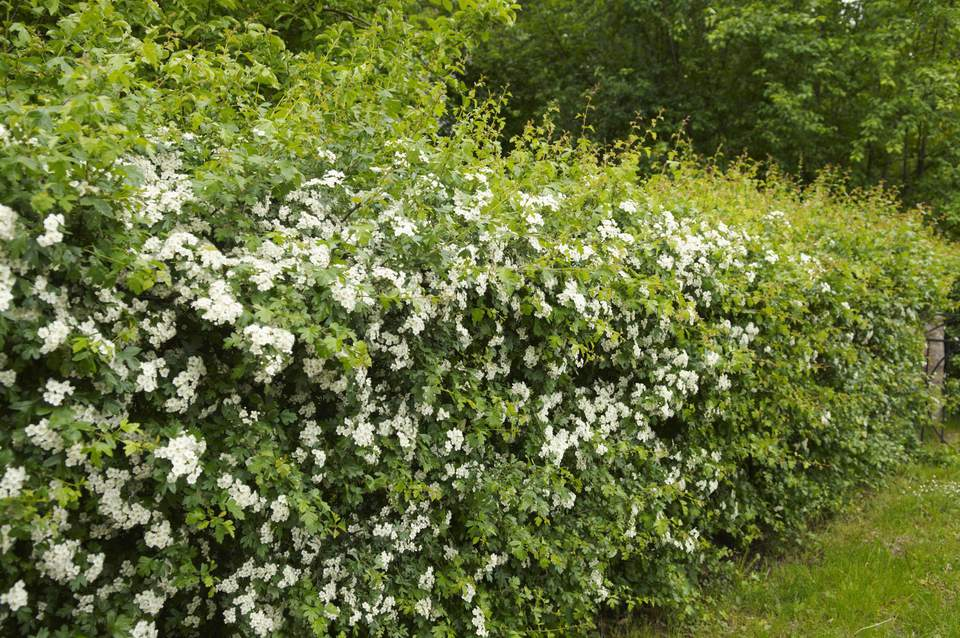 Hedge of hawthorn (Crataegus laevigata)