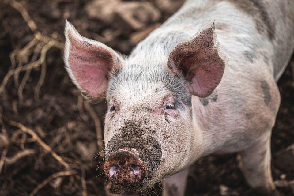 Pink pig with black spots and snout dirt covered with dirt