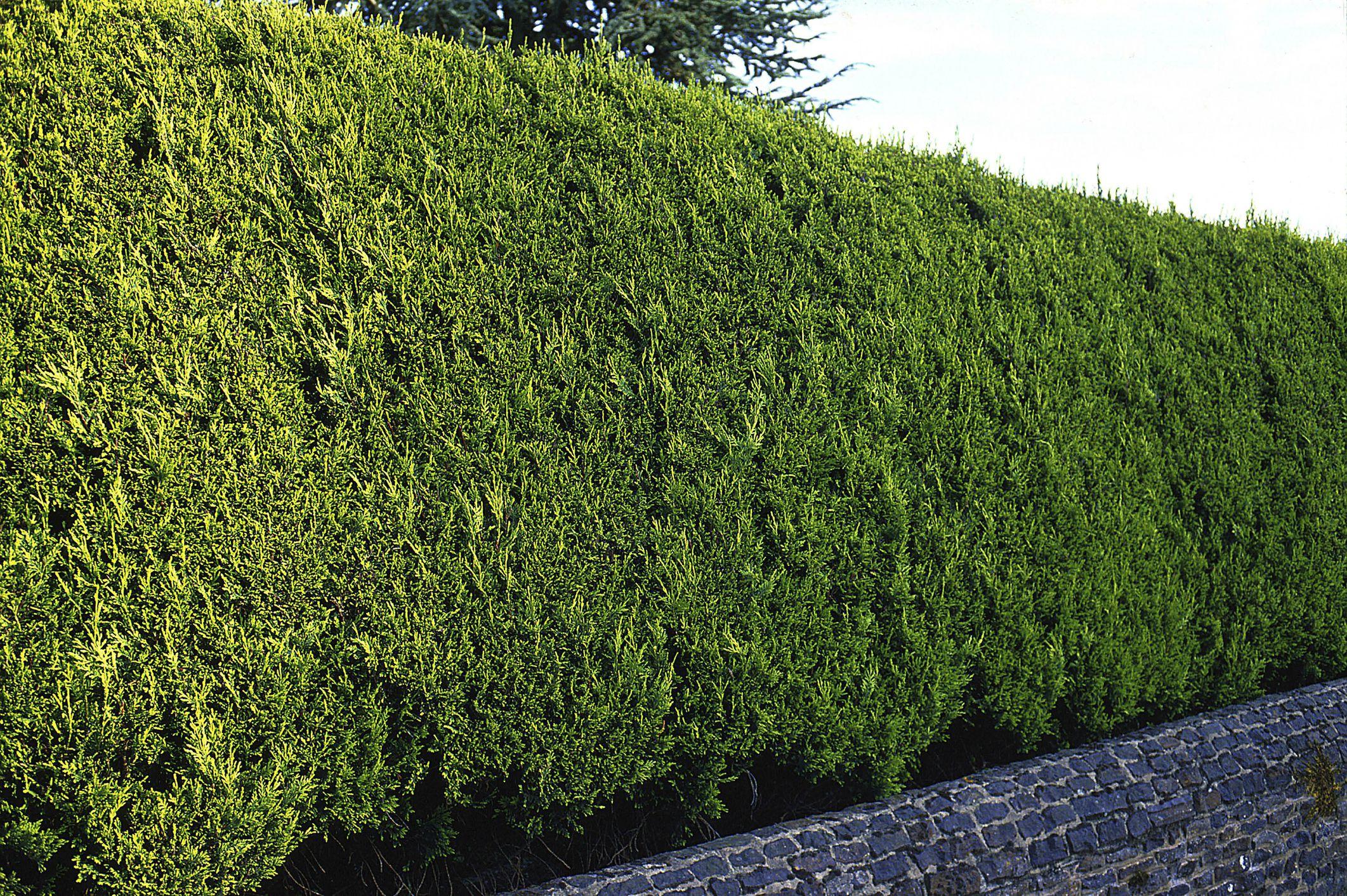golden cypress hede