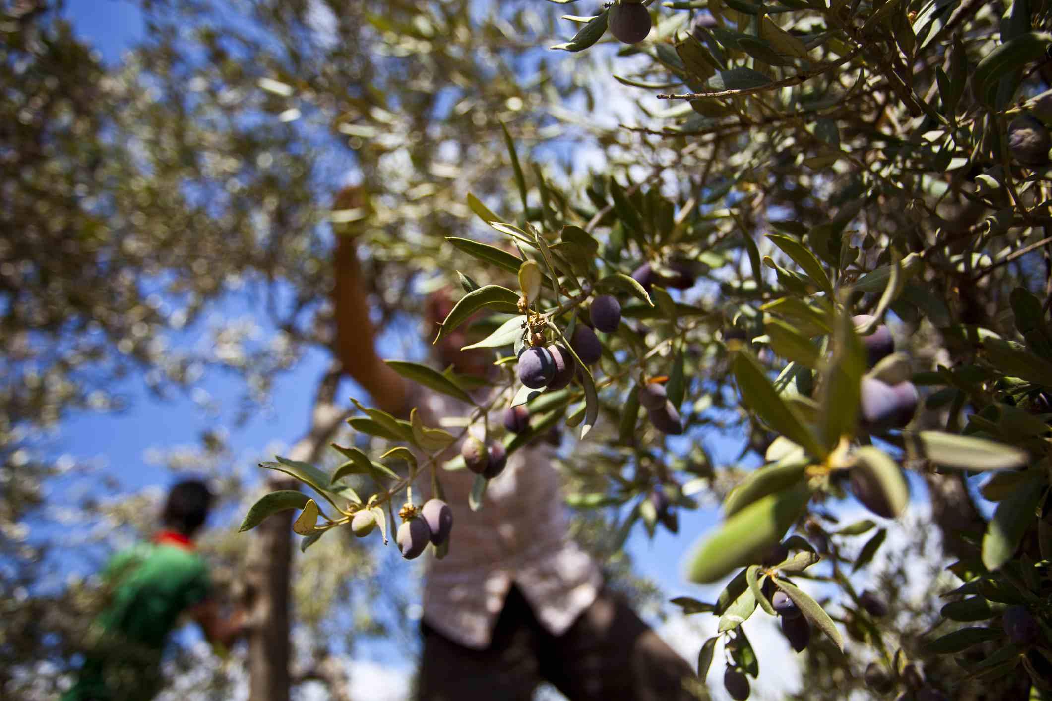 Harvesting Amfissa olives