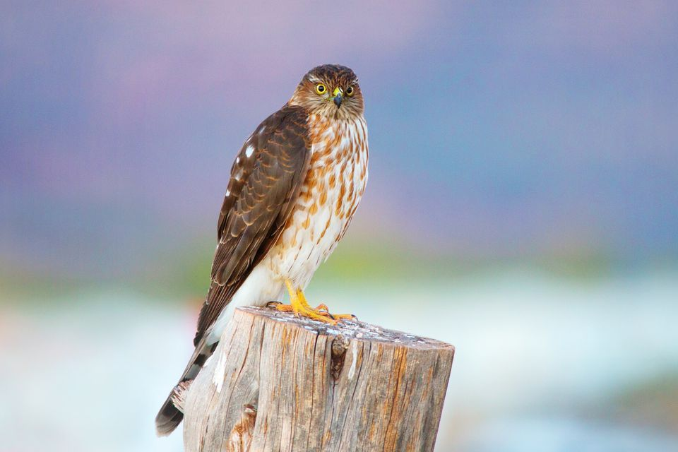 Cooper's hawk standing on a wooden stump.