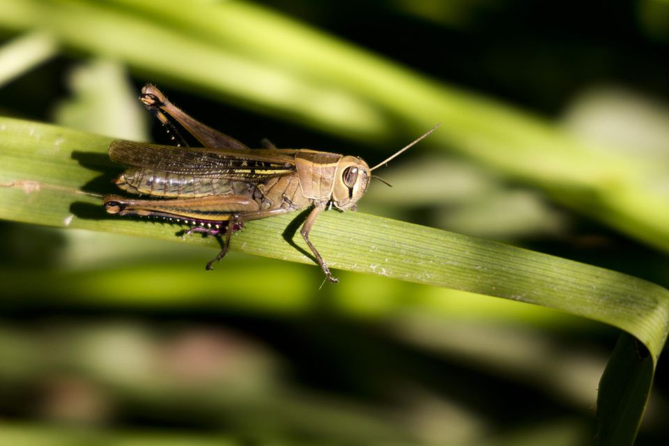 A close-up of a grasshopper on a leaf