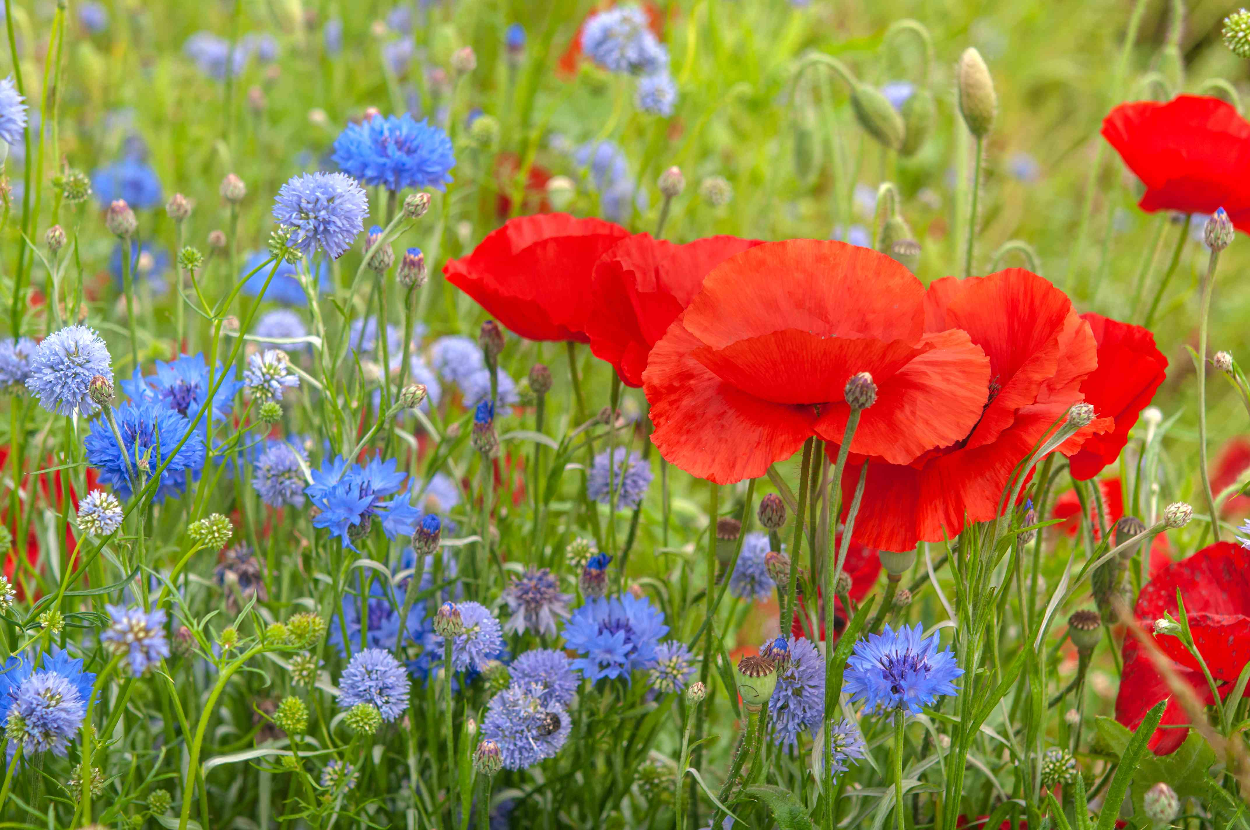 Common poppy with red flowers next to blue and light purple thistle in garden