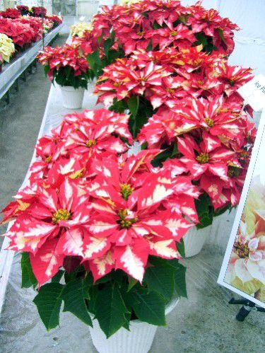 Pictures Of The Paul Ecke Poinsettia Ranch