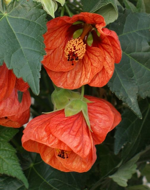 abutilon, flowering maple