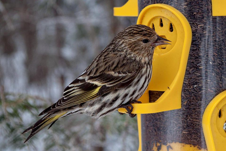 Pine Siskin on Nyjer Feeder