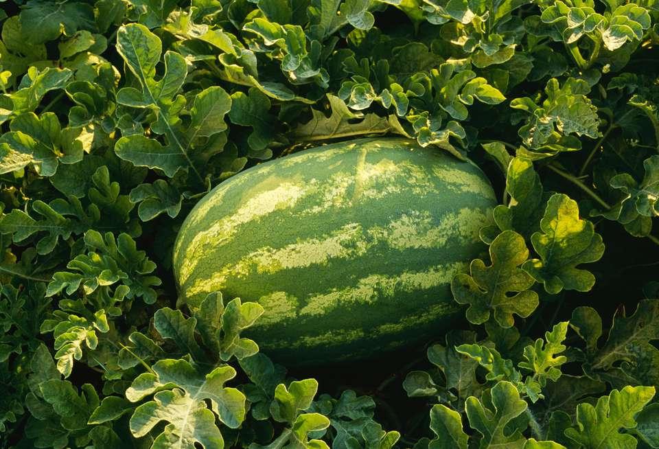 Yellow Watermelon Plant