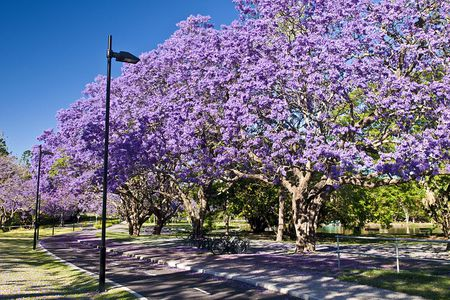 Growing jacaranda mimosifolia trees flowering jacaranda trees university of queensland brisbane qld australia mightylinksfo