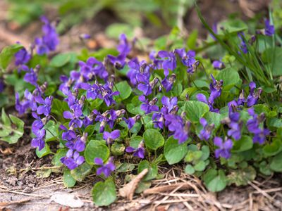 Purple wild violet flowers and weed leaves in lawn
