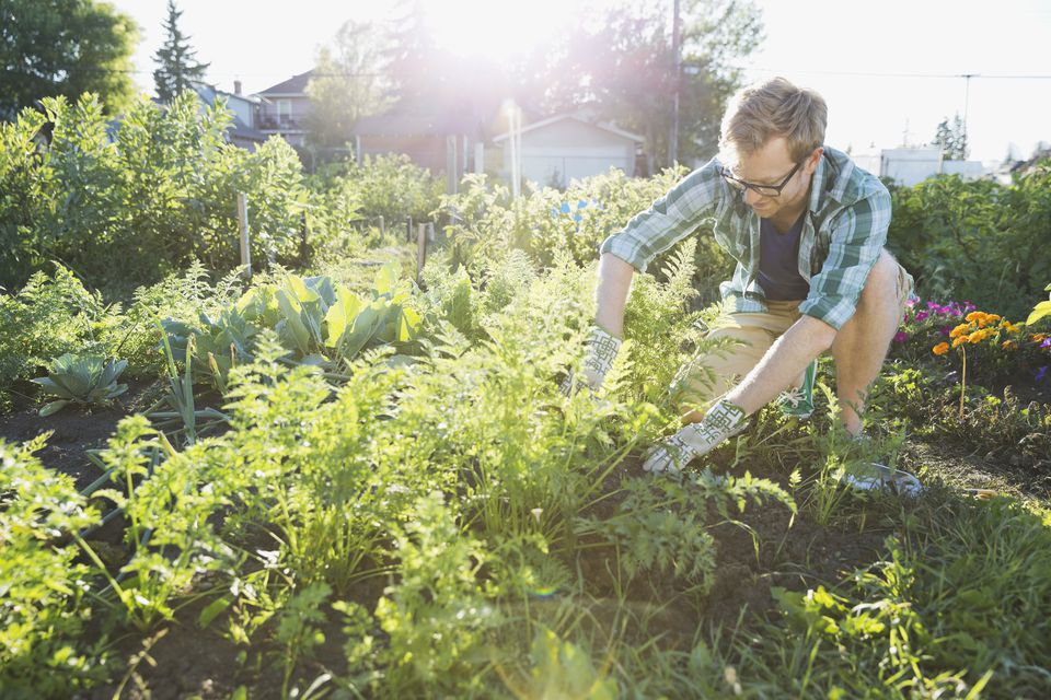 A man harvesting vegetables in community garden