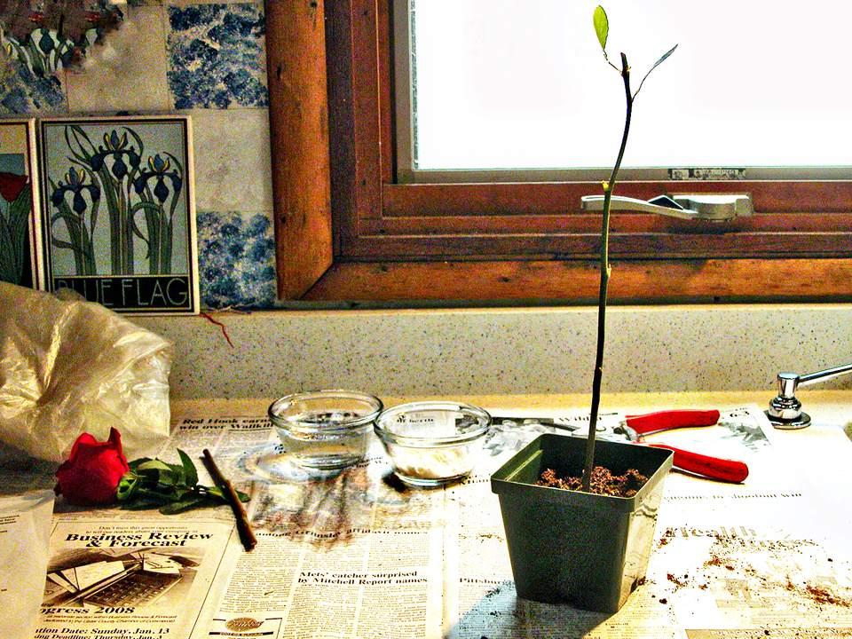 Potting Up a Rose Cutting