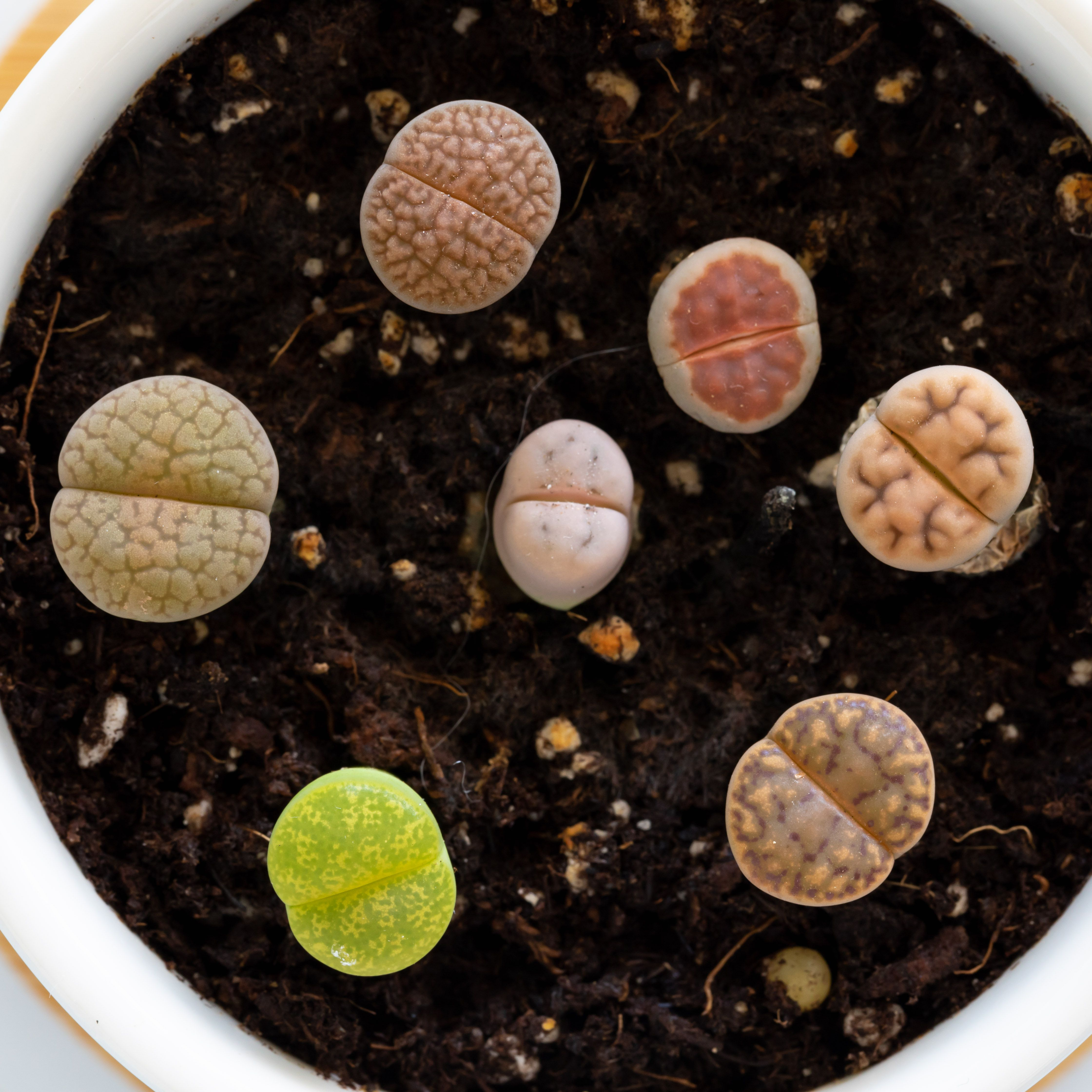 Living Stones Plant Care Growing Guide