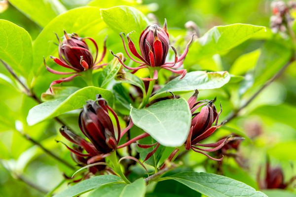 Carolina allspice plant with reddish-brown flowers surrounded by elliptical green leaves