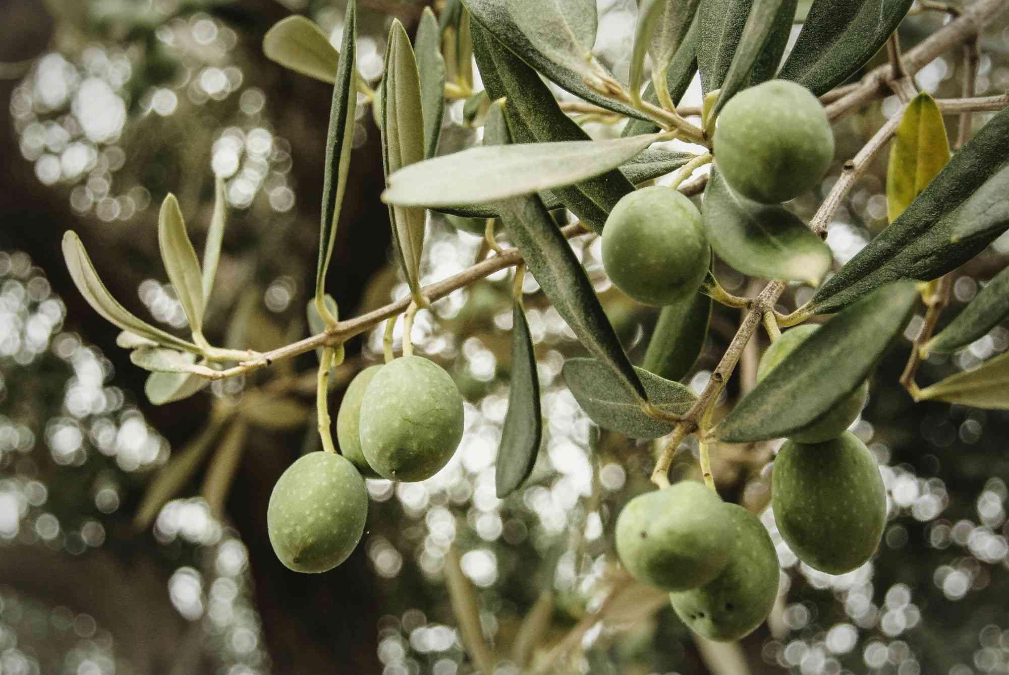 Low Angle View Of Olives Growing On Tree