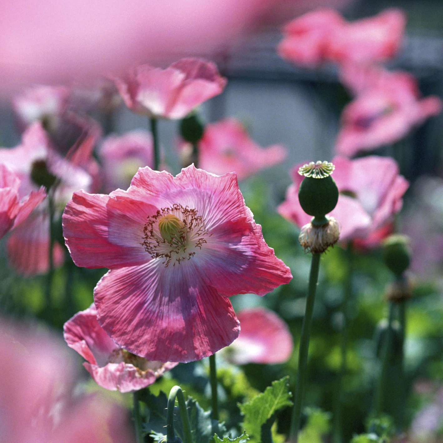 The 11 Best Garden Poppies To Grow In Every Region