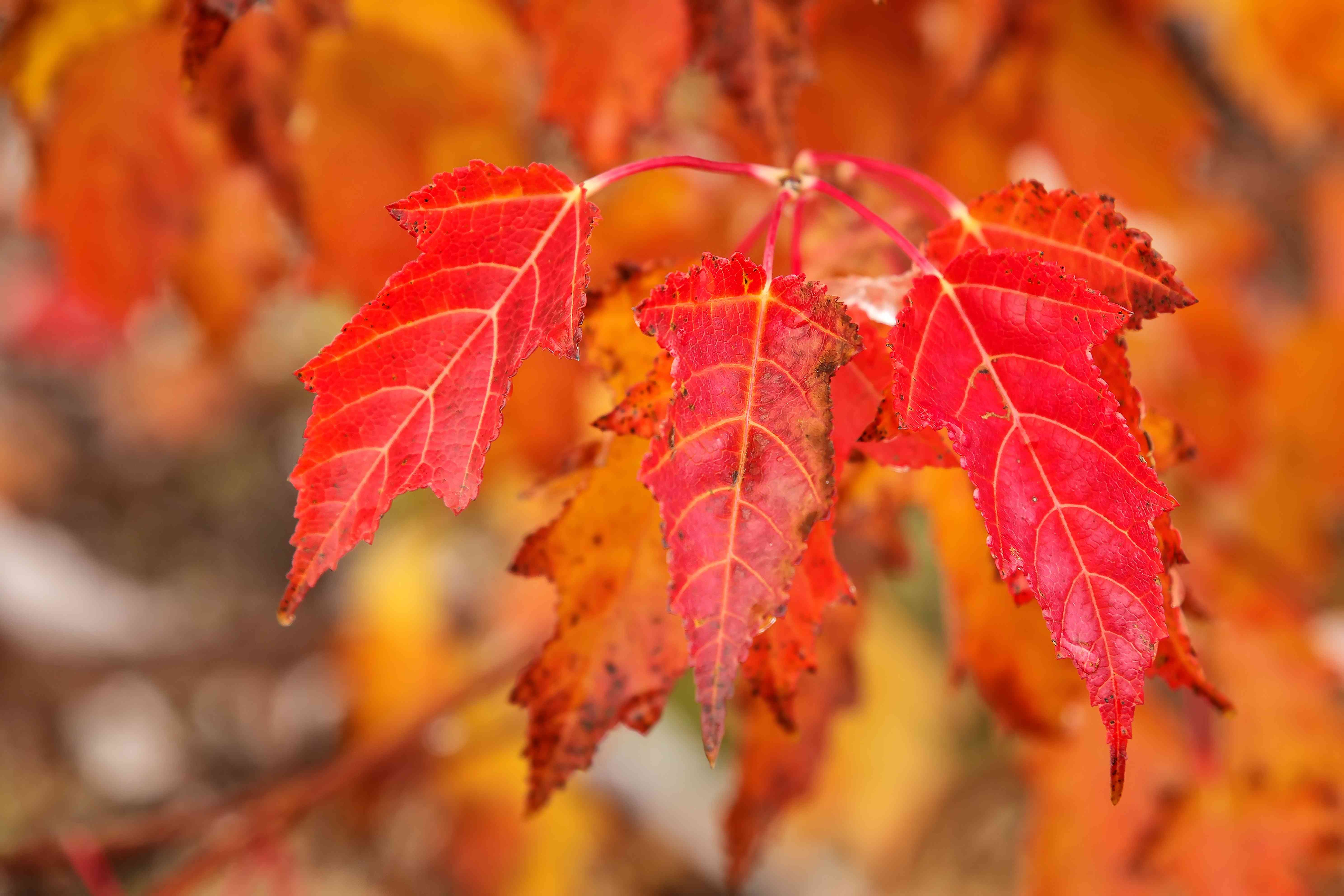 Close-up of red amur maple tree leaves