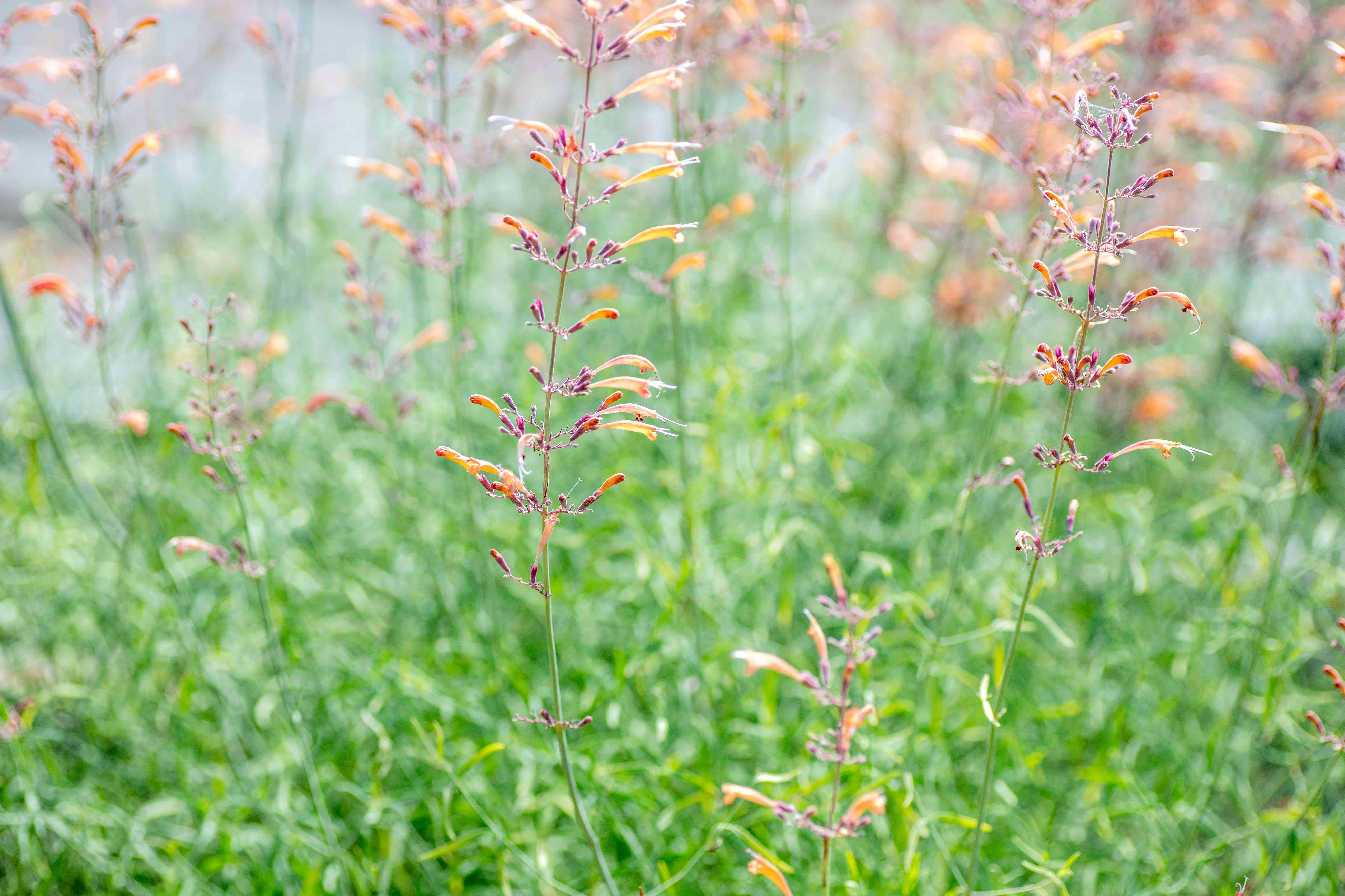 Sunset hyssop flowers on thin stems with tiny orange and pink trumpet-shaped blooms