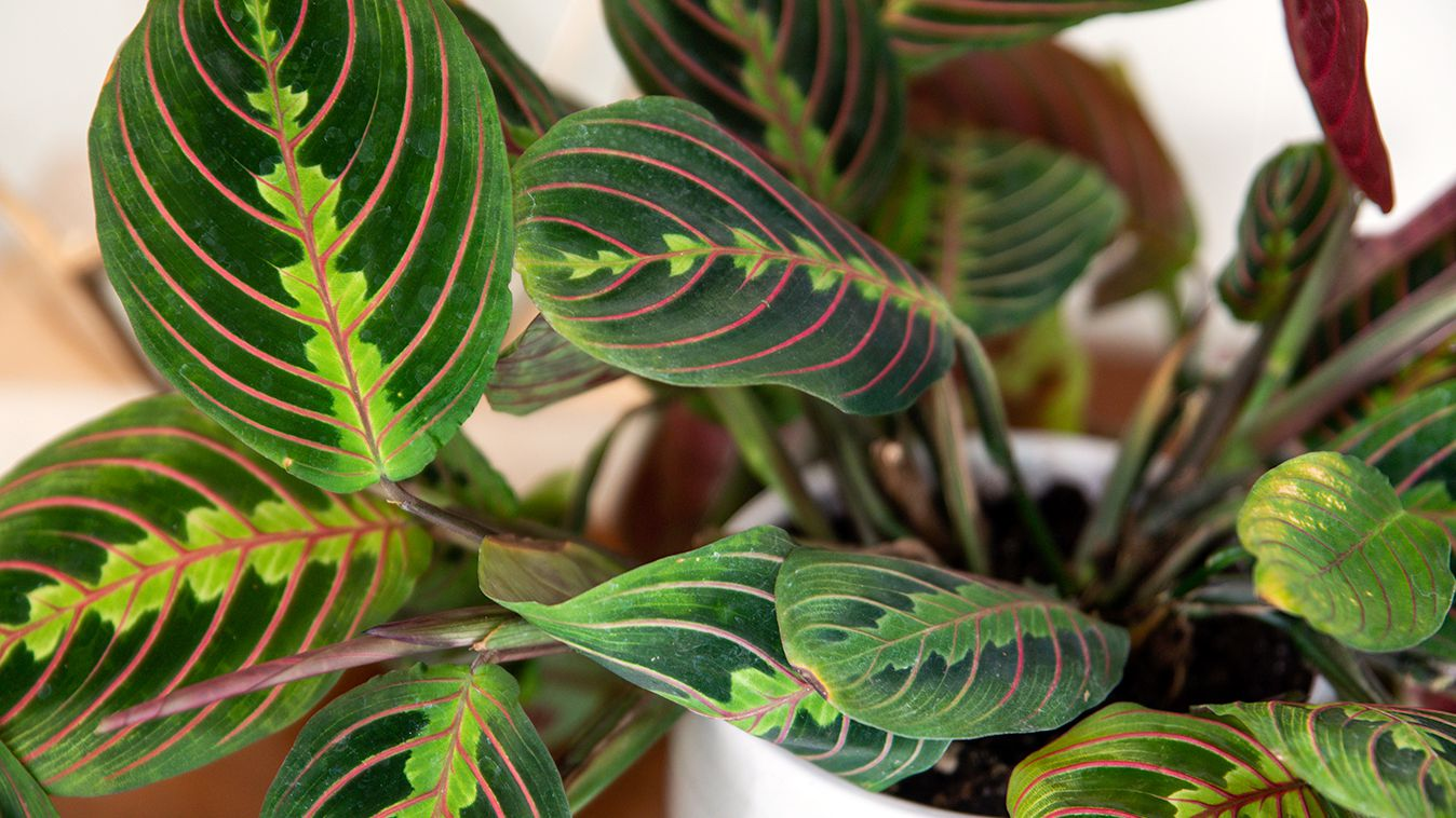 Prayer Plant Indoor Plant Care Growing Guide