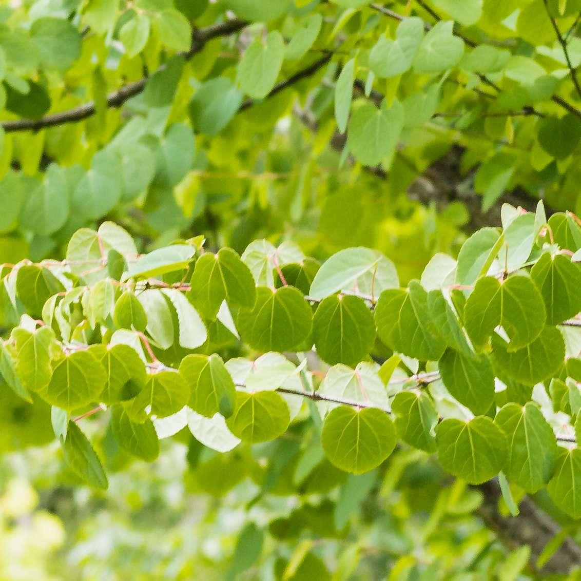 Katsura tree branch closeup with green leaves
