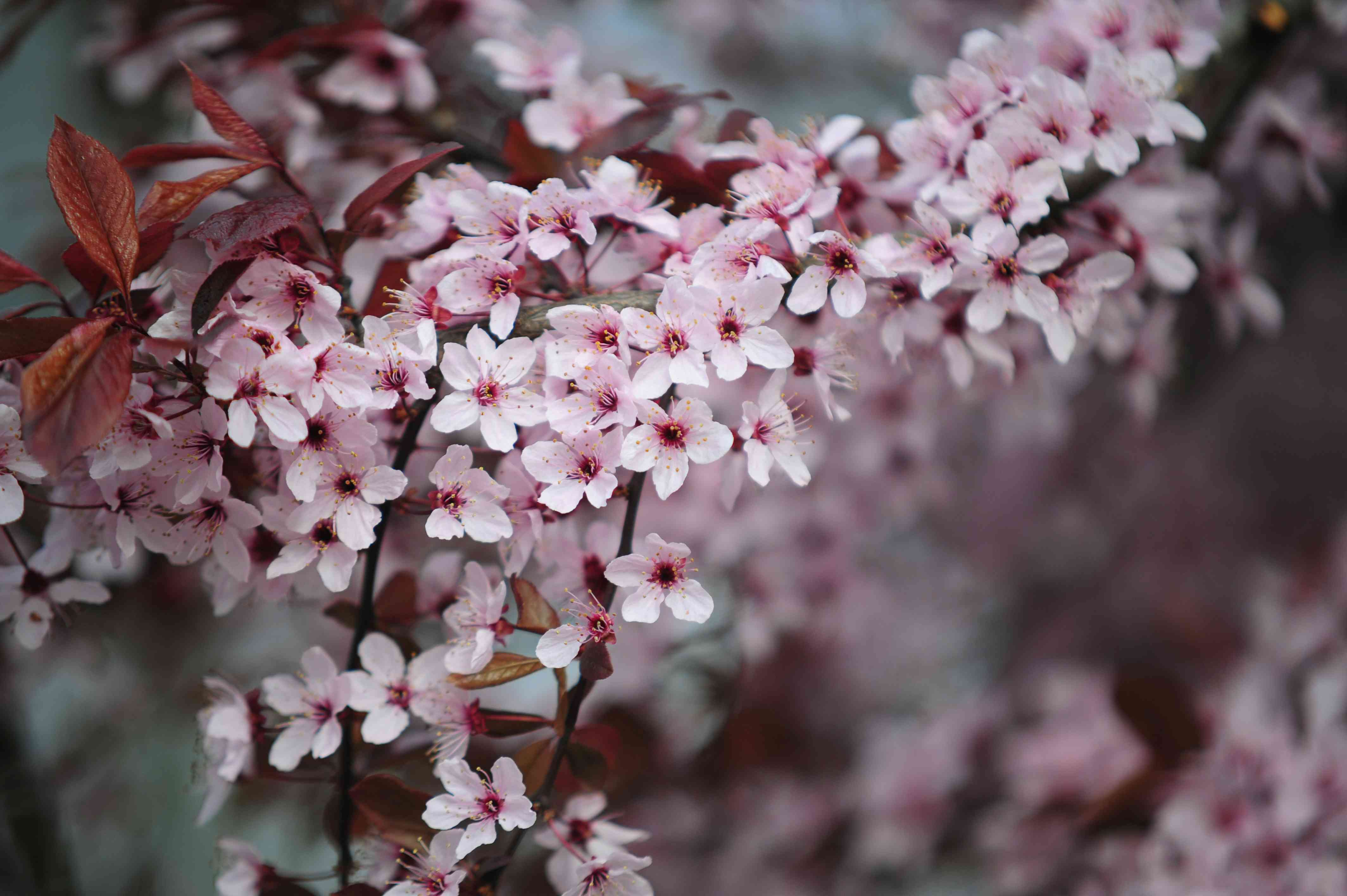 Purple leaf sand cherry tree branch with small white and pink flowers and brown leaves closeup