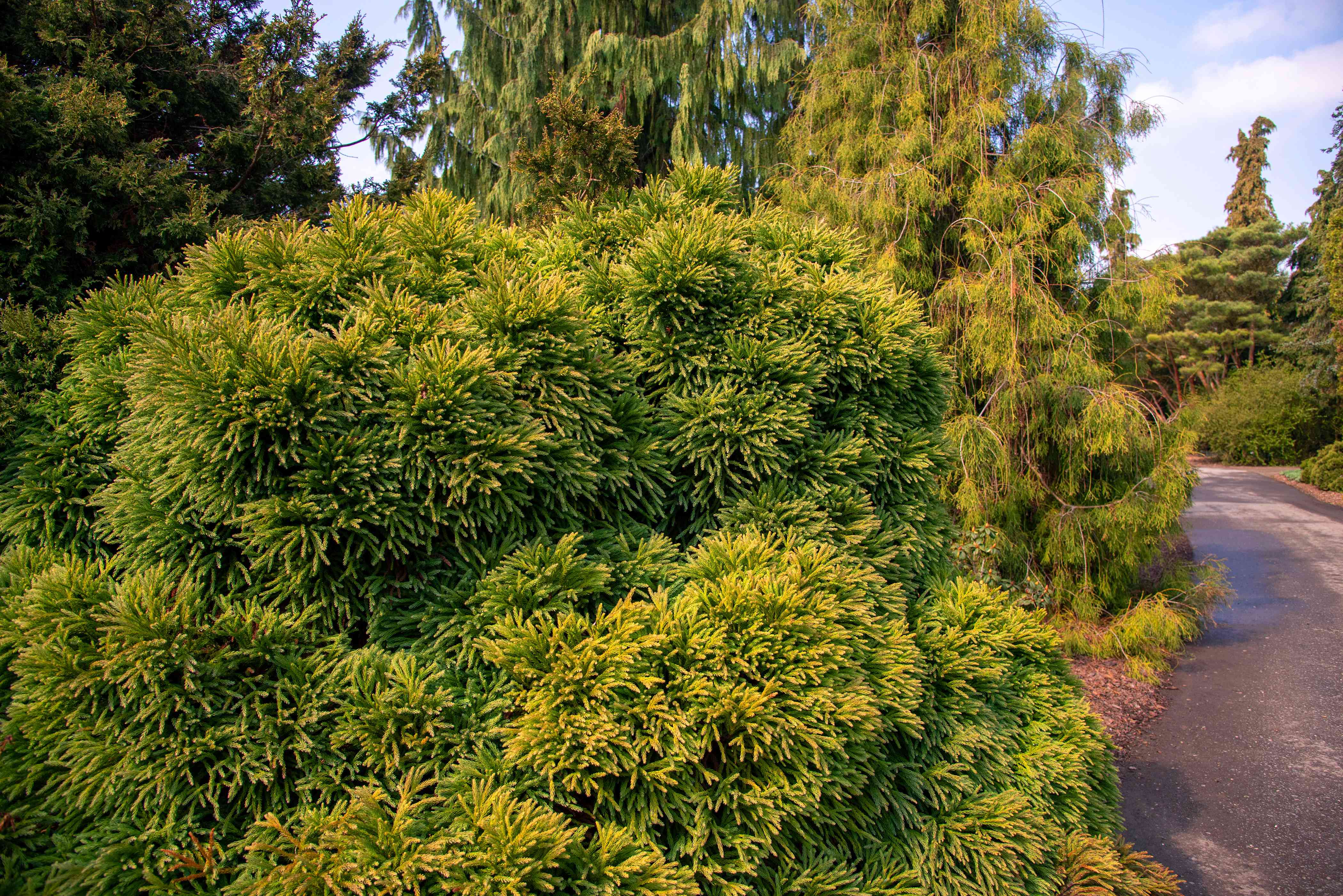 Japanese cedar trees with yellow-green evergreen leaves near road way