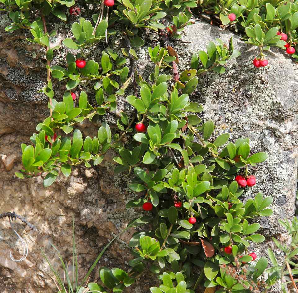 Bearberry works well as a groundcover