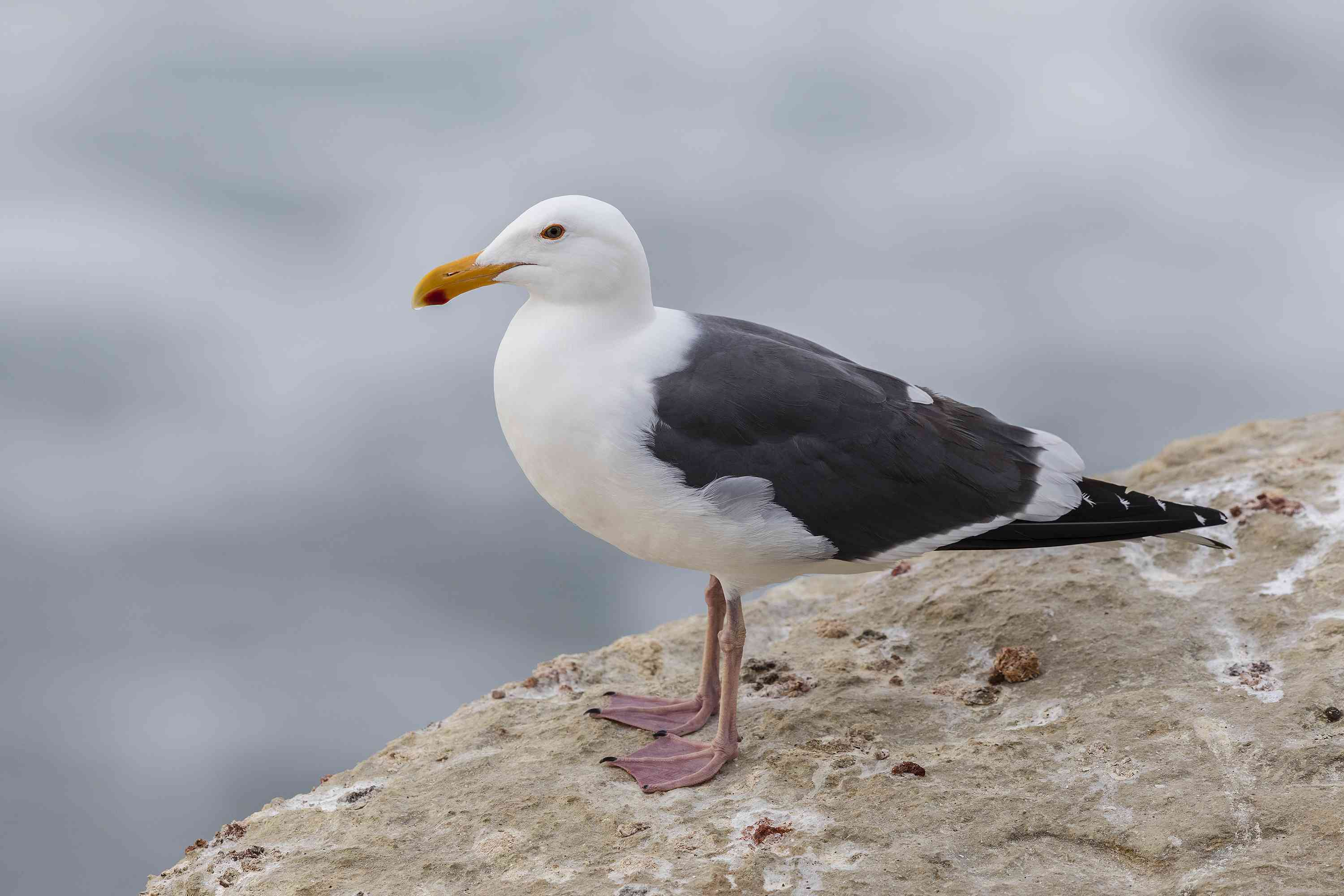 California Gull perched on a cliff by the Pacific Ocean