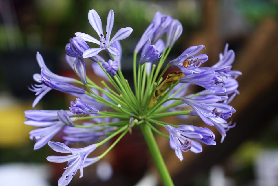 African lily with purply blue flowers